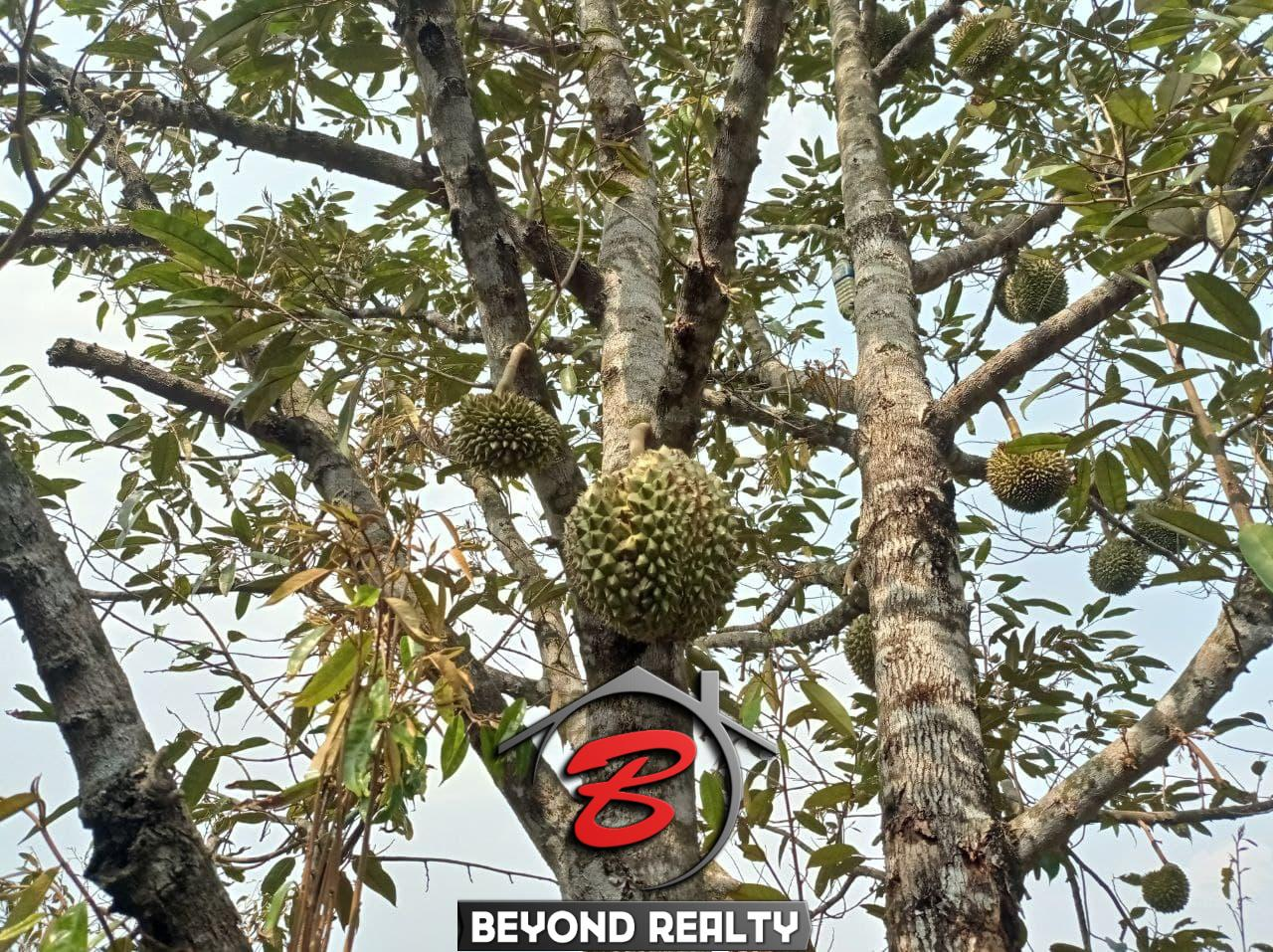a jackfruit tree at the land for sale in Srae Ambel