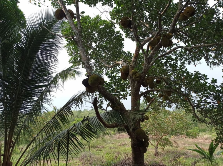 the tree at the land for sale in Srae Ambel